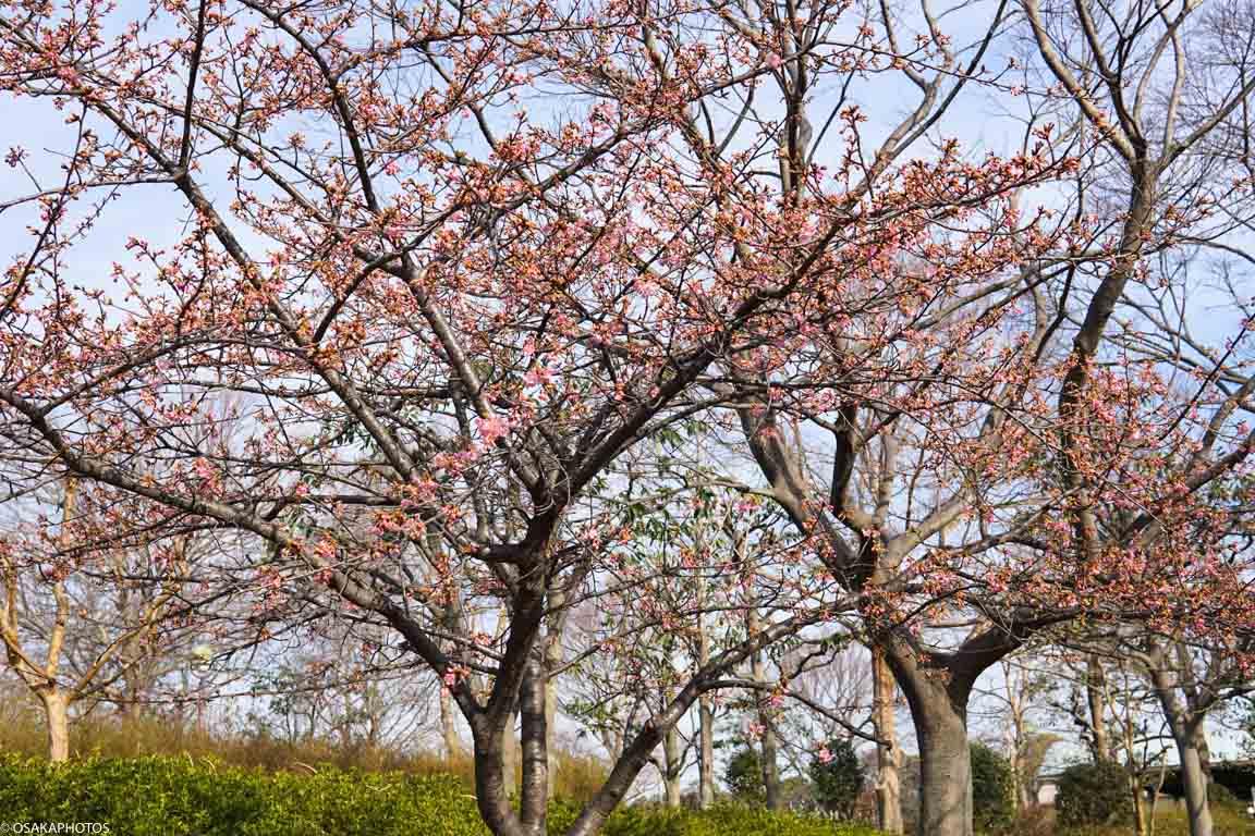 鶴見緑地河津桜-03120