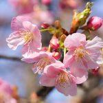 鶴見緑地河津桜-03127