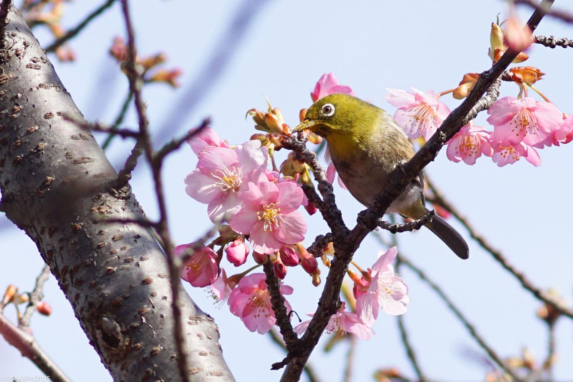 鶴見緑地河津桜-03147