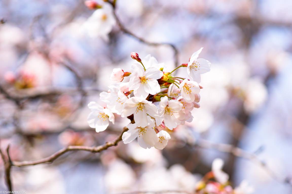 大阪城桜2018-04308
