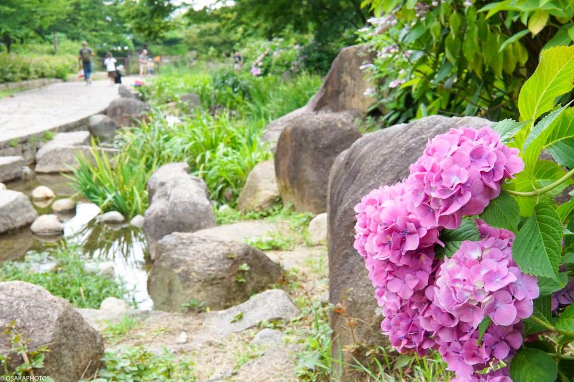 大阪城 紫陽花-08595