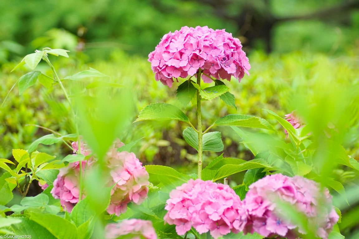 大阪城 紫陽花-08608