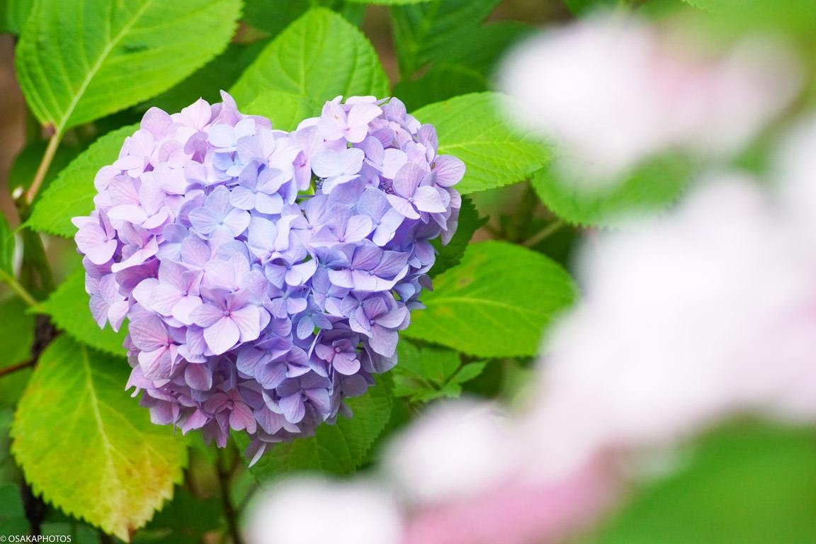 大阪城 紫陽花-08631