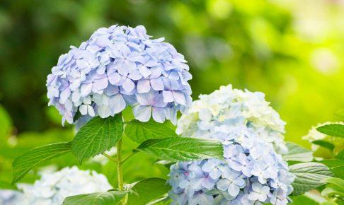 大阪城 紫陽花-08632