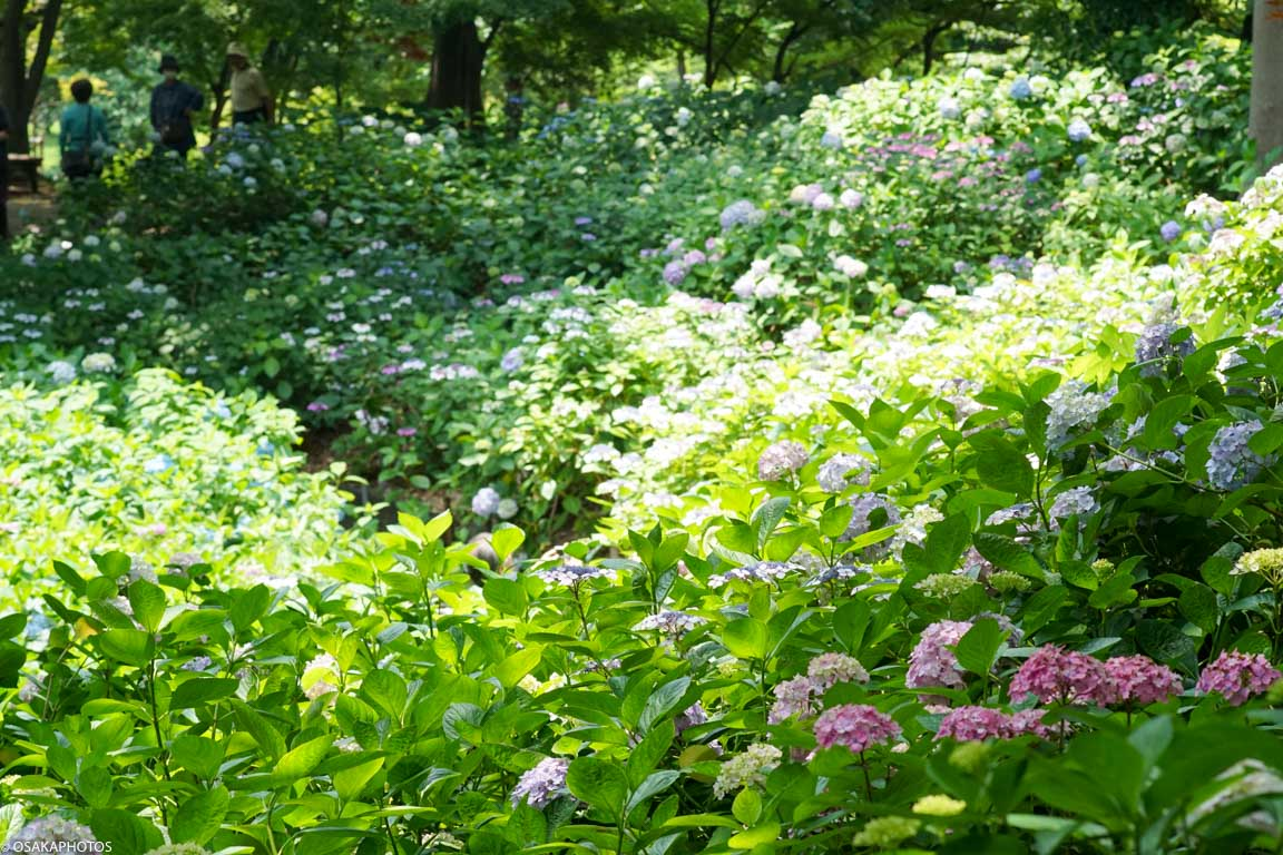長居植物園 紫陽花-07902