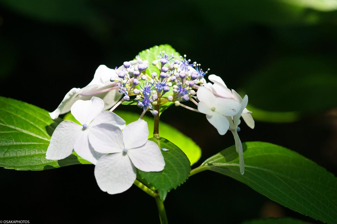 長居植物園 紫陽花-07916