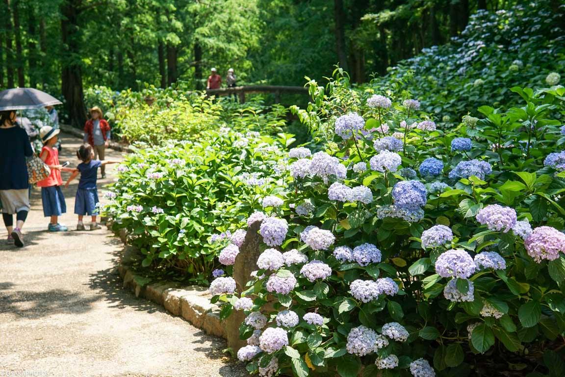 長居植物園 紫陽花-07995