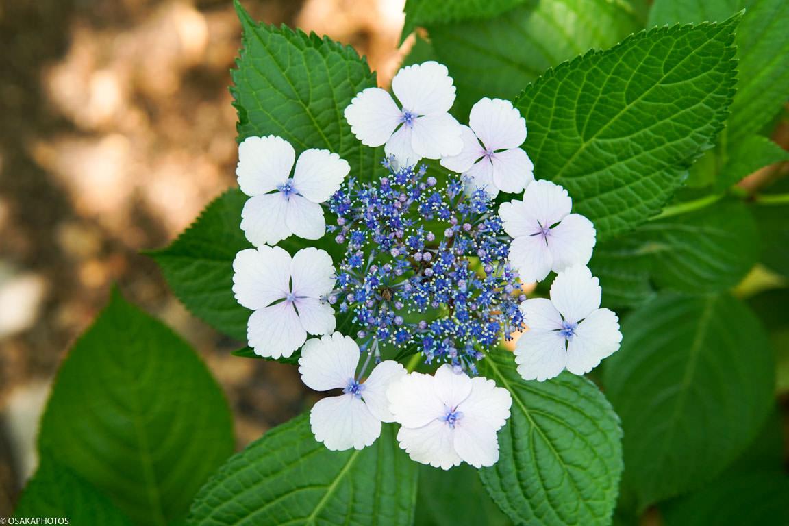 長居植物園 紫陽花-08001