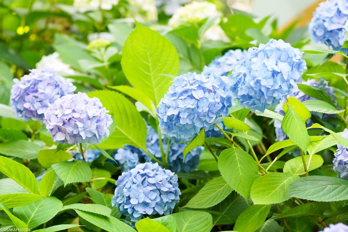 長居植物園 紫陽花-08026