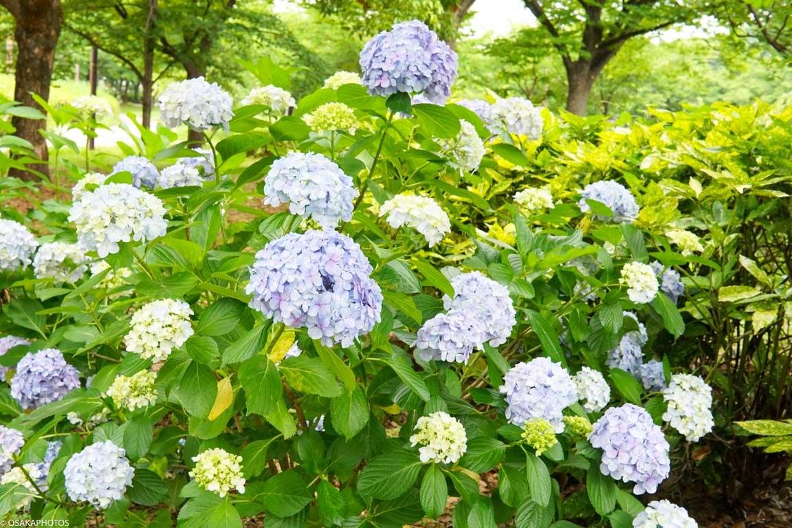 大阪城 紫陽花-08603