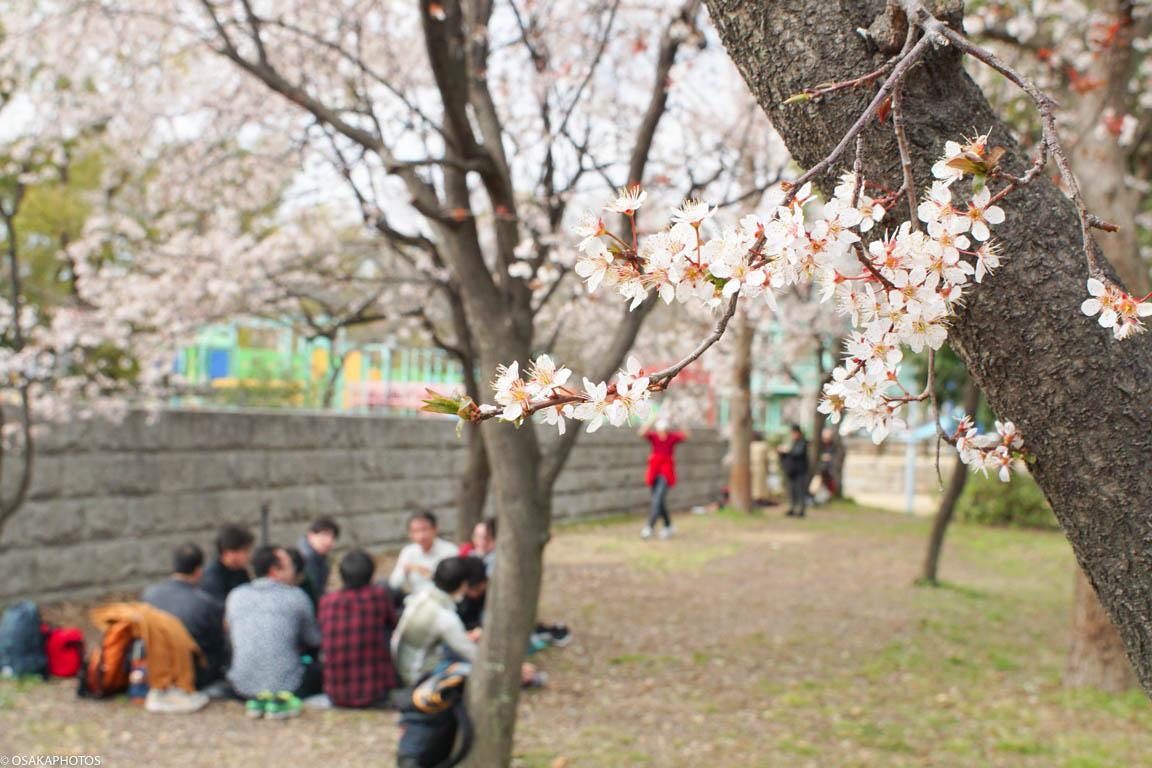 大阪城公園ベニスモモ-00267