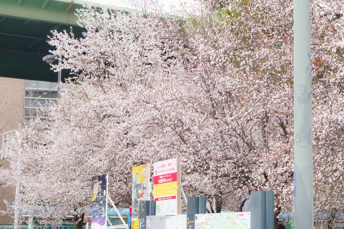 大阪城公園ベニスモモ-00289