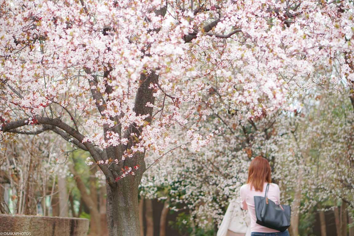 大阪城公園ベニスモモ-00304