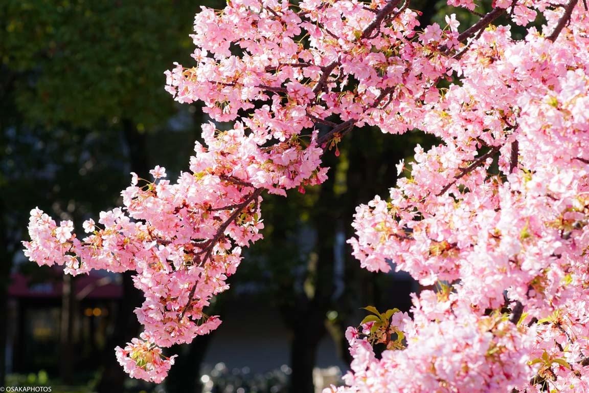 長居公園早咲桜-00108