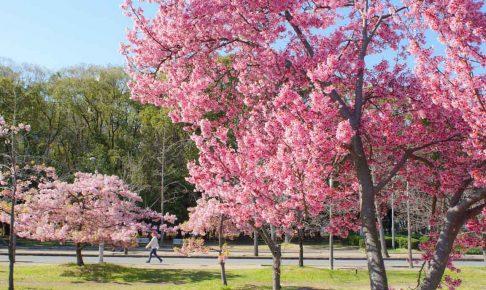 長居公園早咲桜-00136