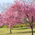 鶴見緑地の早咲桜-00052