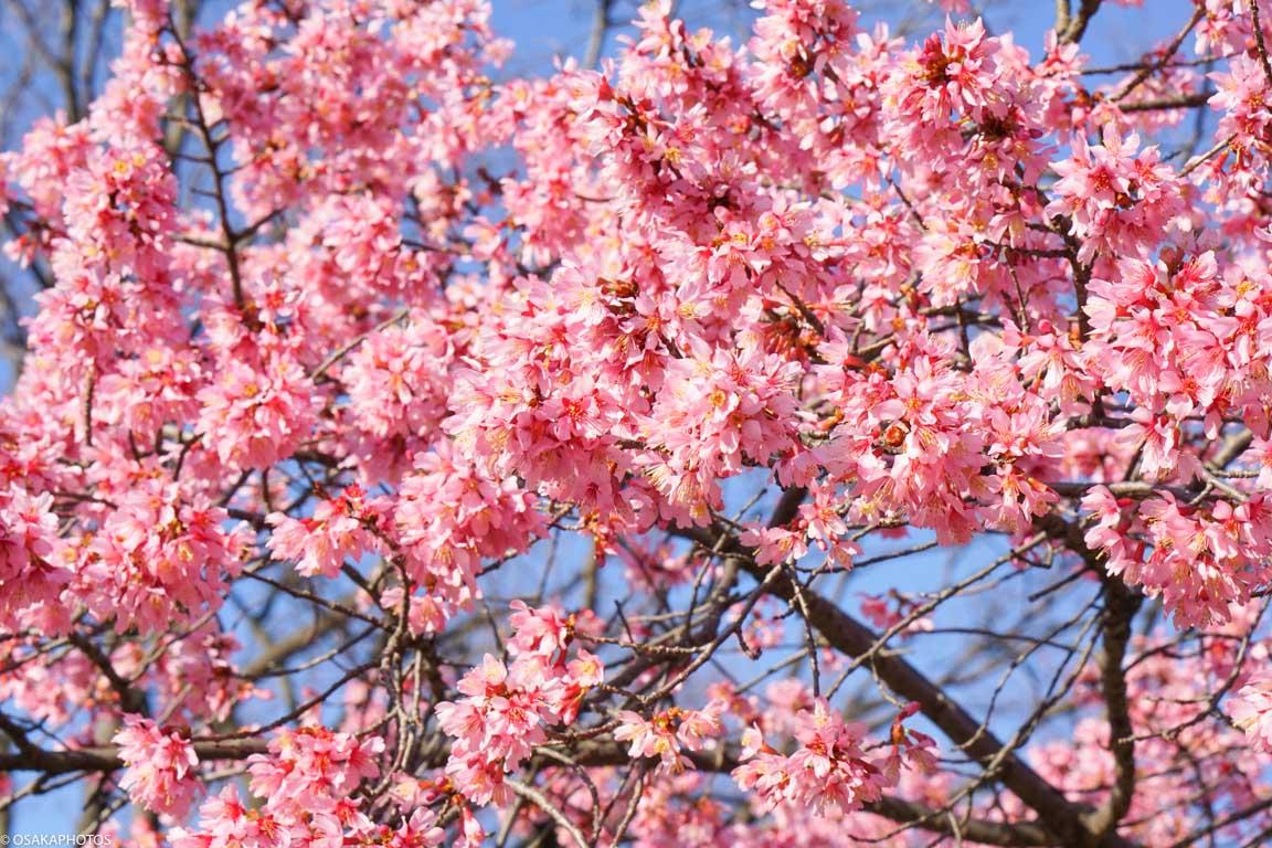 鶴見緑地の早咲桜-00057