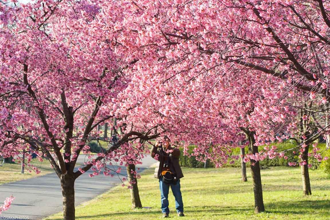 鶴見緑地の早咲桜-00074