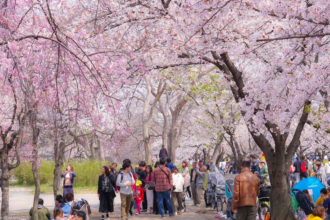 大阪城公園桜-00454
