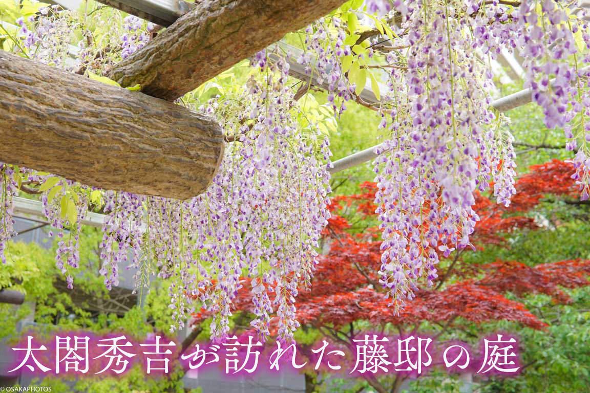野田藤-00808-2