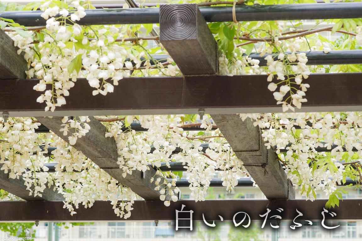 野田藤-00828-2