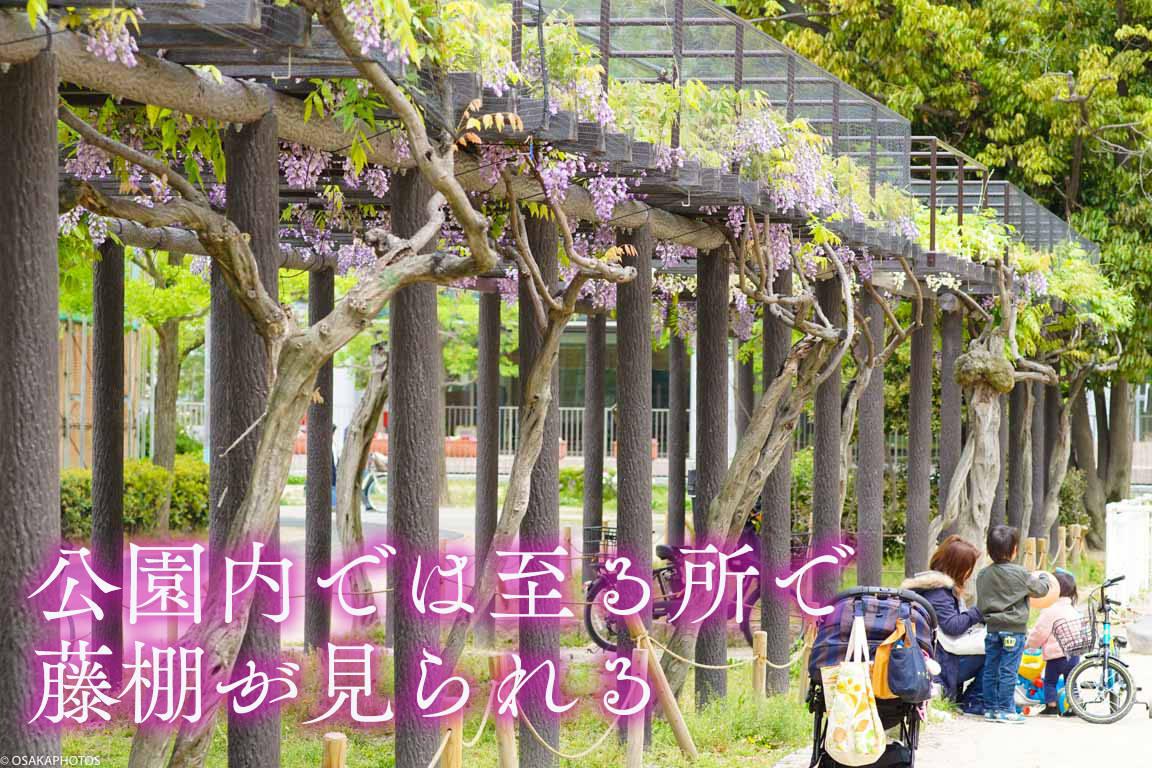 野田藤-00831-2