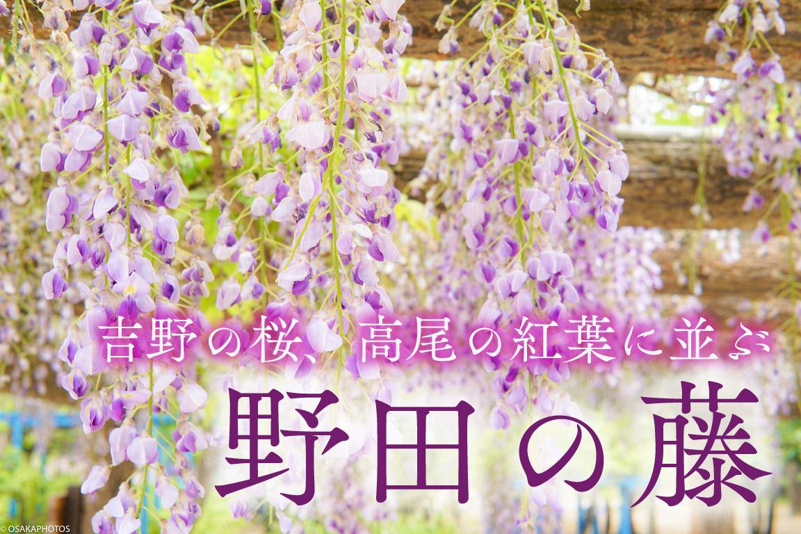 野田藤-00843-2