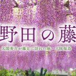 野田藤-00881-2